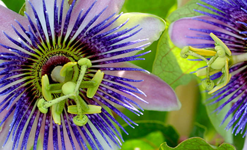 passion flower for opiate withdrawal