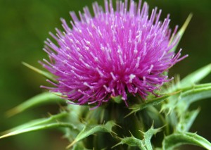 milkthistle flower