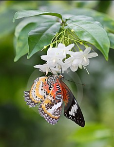 butterfly-sitting-jasmine-flower-22516238 (1)