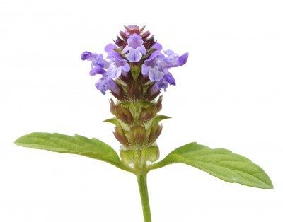 Self-Heal herb
